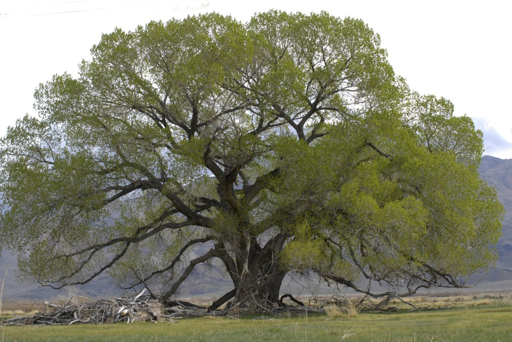 Cottonwood Tree Small